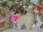 caring pomeranian puppy