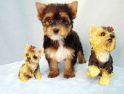 Adorable Female Teacup Yorkie Puppy for Adoption