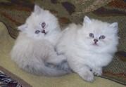 Himalayan Kittens