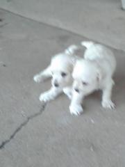 Cute Puppies For Sale! ****Poodles****