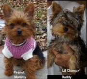 Yorkie Puppies Registered purebred