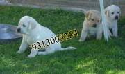 Labrador Retriever  puppies available at poddarkennel(9313005254).....